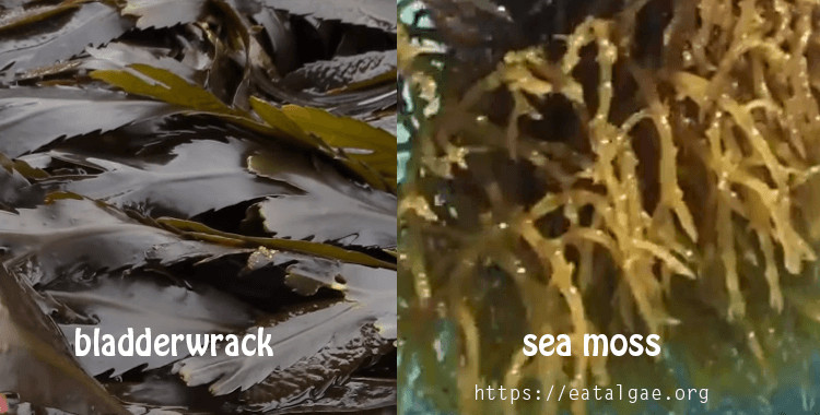 bladderwrack and irish sea moss