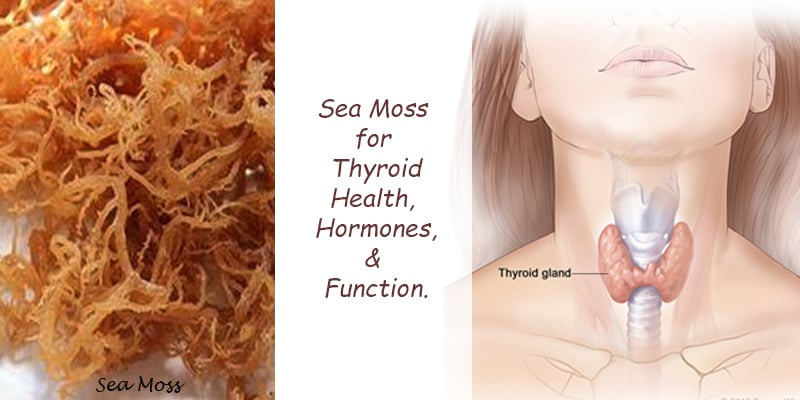 sea moss for thyroid
